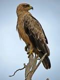 orła afrykański tawny Obraz Stock