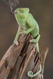 Ora del cocktail del Chameleon Fotografia Stock