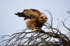orła tawny Obrazy Royalty Free