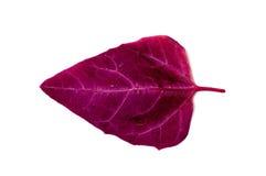 Orach leaf Stock Image