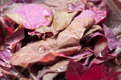 Orach leaves Royalty Free Stock Photos