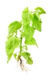 Orach plant (Atriplex nitens Schkuhr) Stock Photography