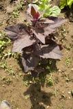 Orach rosso (atriplex hortensis) Fotografia Stock Libera da Diritti
