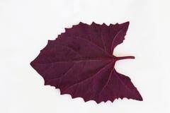 Orach rouge, hortensis d'Atriplex Image stock