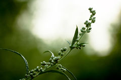 Orache branch. (Atriplex plant). Royalty Free Stock Photo