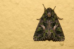 Orache Moth (Trachea atriplicis) sitting on the wall Royalty Free Stock Photo