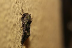 Orache Moth (Trachea atriplicis) sitting on the wall Royalty Free Stock Photos