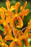 Orage Mokara Orchid Royalty Free Stock Image
