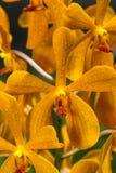 Orage Mokara Orchid Royalty Free Stock Images