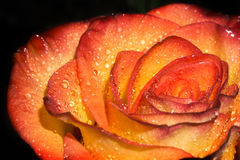 Orage Rose with Droplets Macro Royalty Free Stock Photo