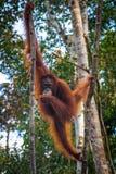 Oragutan je banany w drzewie w Borneo zdjęcia royalty free