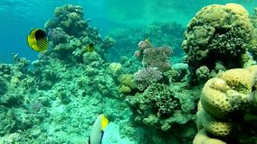 Сoral,  Exotic fish of the red sea. Underwater coral reef red sea. The corals and fish. Transparent and warm water. Underwater life tropical fish. Beautiful stock video footage