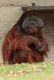 Orang  utan ape. Stock Photography