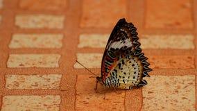Orance motyl Thailand Obrazy Royalty Free