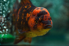 Oranda close up. Royalty Free Stock Photos
