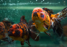 Oranda close up. Royalty Free Stock Images