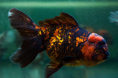 Oranda close up. Royalty Free Stock Image
