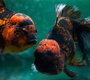 Oranda close up. Royalty Free Stock Photo