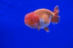 Oranda del pesce rosso Immagini Stock Libere da Diritti