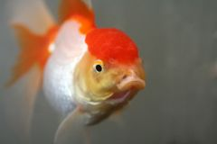 Oranda goldfish stock photos