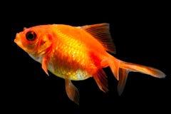 Oranda Goldfish Isolated On Black Stock Photos