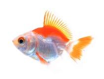 Oranda goldfish isolated on white, high quality studio shot manu Stock Photo