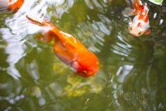 Oranda lionheadguldfisk Arkivbild