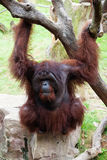 orang类人猿pygmaeus坐utan 库存图片
