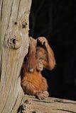 orang младенца utan Стоковое Изображение RF