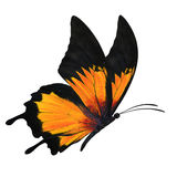 Orang butterfly flying Stock Image