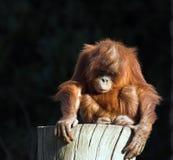 Orang del bebé utan Imagen de archivo libre de regalías