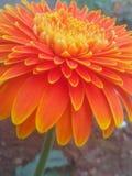 Orang flower Royalty Free Stock Photo