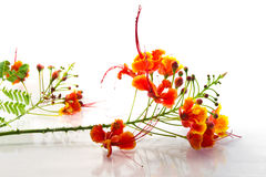 Orang flowers. Peacock flowers on white background Stock Photo