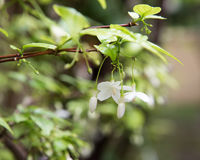 Orang Jessamine flower Royalty Free Stock Photography