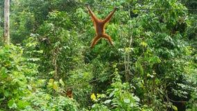 Orang lindo Utan que balancea en la cuerda en Sepilok foto de archivo