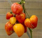 Orang-oetan Russische grote tomaten Royalty-vrije Stock Afbeelding