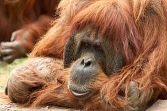 Orang-oetan Utan Royalty-vrije Stock Afbeelding