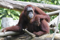 Orang-oetan Utan 10 Stock Afbeelding