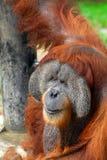 Orang-oetan Utan stock afbeeldingen