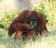 Orang-oetan Utan die fruit eten in Chester Zoo Stock Fotografie