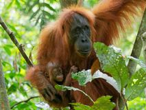 Orang-oetan utan met weinig baby stock fotografie