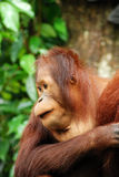 orang-oetan utan portret Stock Afbeelding