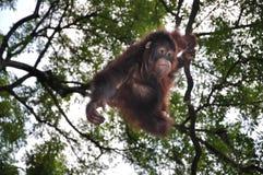 Orang-oetan Utans Royalty-vrije Stock Afbeeldingen