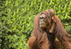 Orang-outan Photo stock