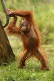 Orang-outan Photos stock