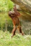 Orang-outan Images stock