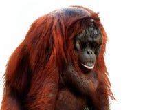 Orang-outan Images libres de droits