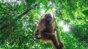 Orang-outan adolescent atteignant vers le bas ci-dessous Photographie stock