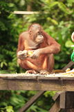 Orang-outan adulte Photographie stock libre de droits