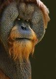 Orang-outan avec l'assiette Images libres de droits